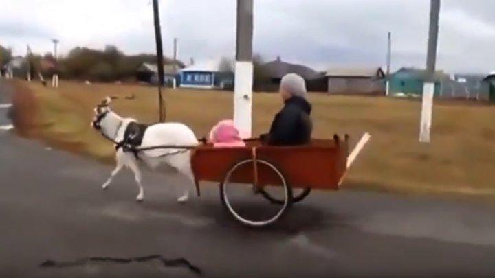 Если нет лошади, но есть козел Ездовой козел!