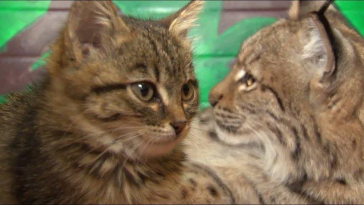 Рысь усыновила котят! Чужих детей не бывает, даже у животных!