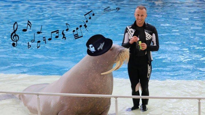 Просто очаровательный морж ,который танцует под Майкла Джексона! )))