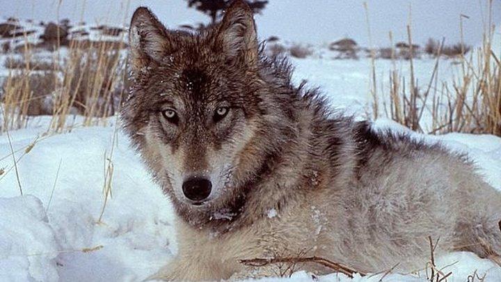Волчья династия Йеллоустоуна (2018). 1 серия. Битва за Волчью долину