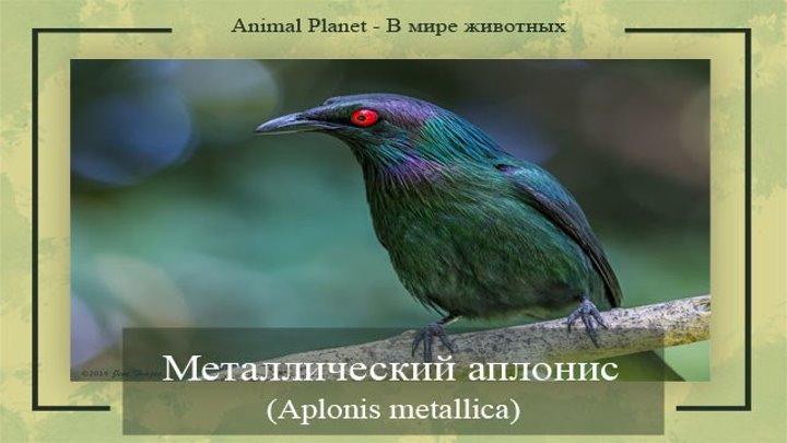 Металлический аплонис, или металлический скворец (#Aplonis_metallica)