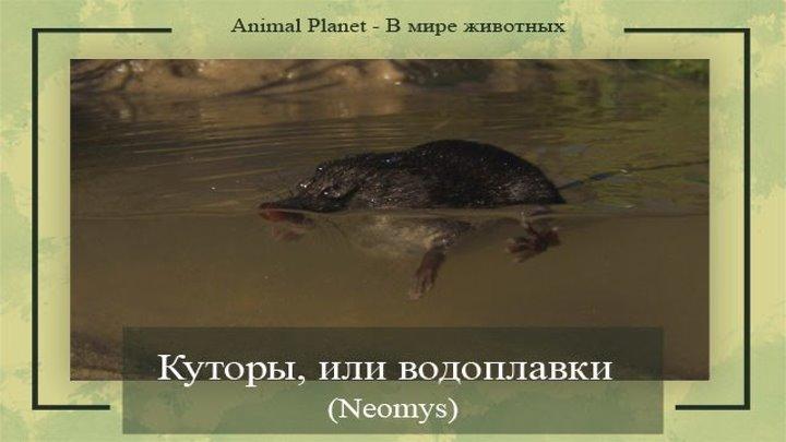 Куторы, или водоплавки (#Neomys)