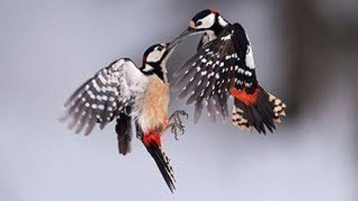 Дятел. Детям про птиц.