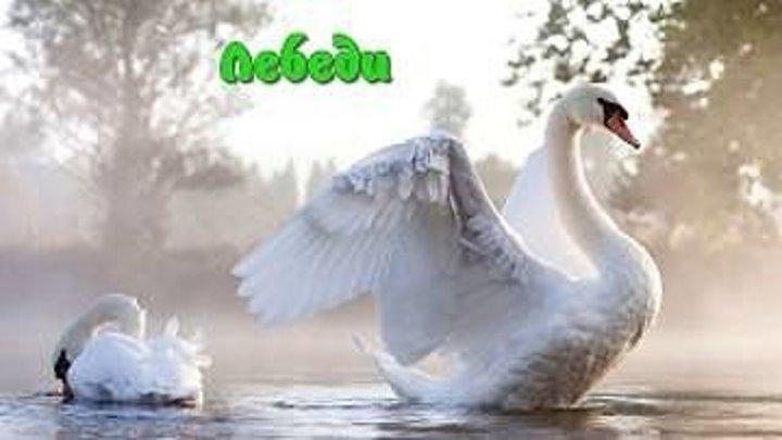 Лебеди — грациозные птицы. Детям про лебедей.