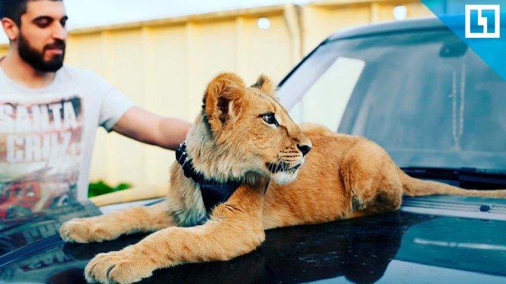 Спас львёнка из заточения