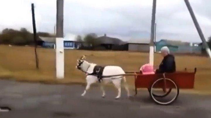 Если нет лошади, но есть козел ЕЗДОВОЙ козел..!