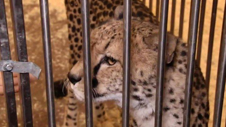 В столичном цирке на Цветном бульваре леопард напал на 4-летнюю девочку