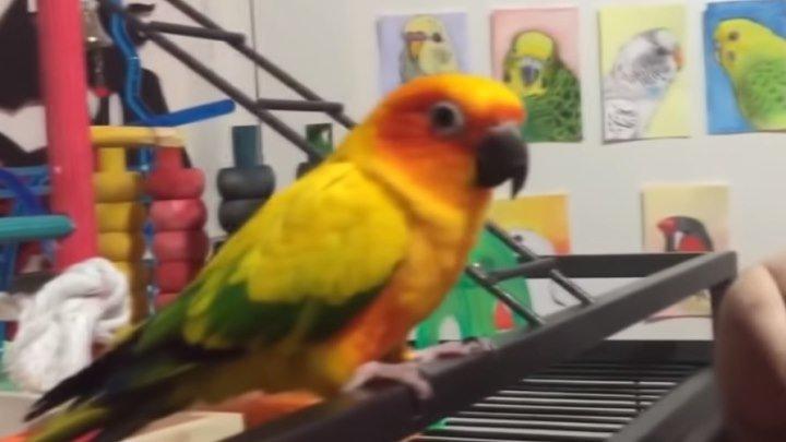 Смешные попугаи! Просто уморительное видео!!!