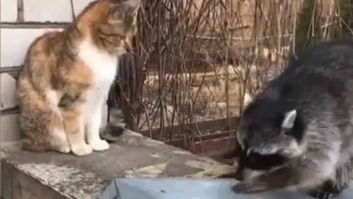 Очаровашка - енот ПРИСТАЕТ к коту..))