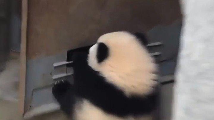 Малыш-панда КАТАЕТСЯ на двери...))