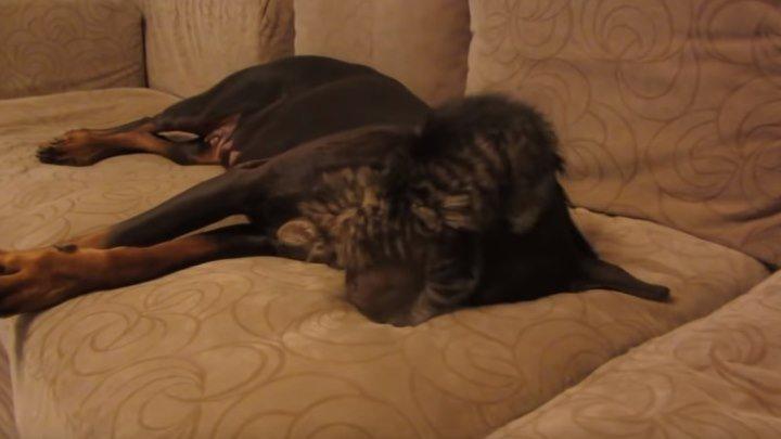 Злой котенок и добрый доберман! Уморительное видео!!!