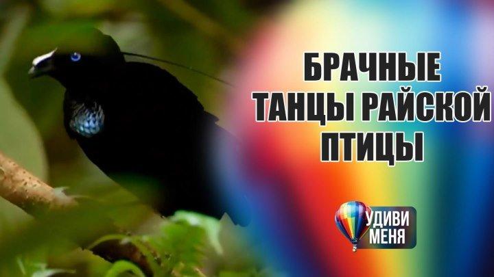 Танцы райской птички
