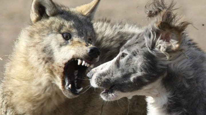 Охота на волков 2018 - триллер боевик