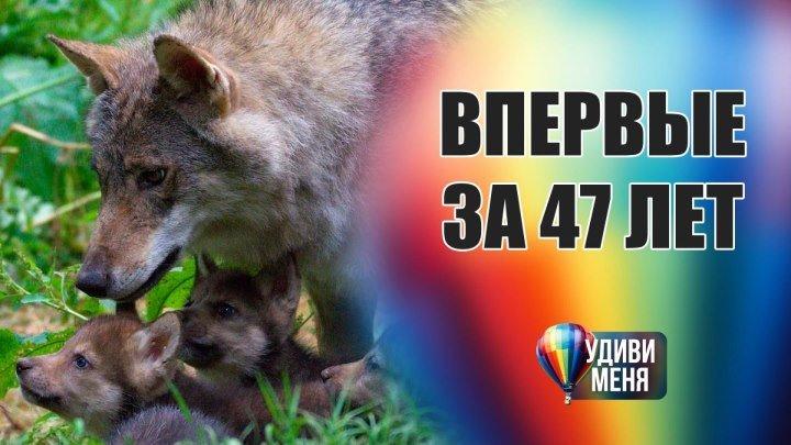 Редкое рождение волчат