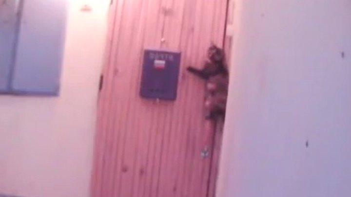 Кошка звонит в звонок, чтобы попасть домой! Какая умница!