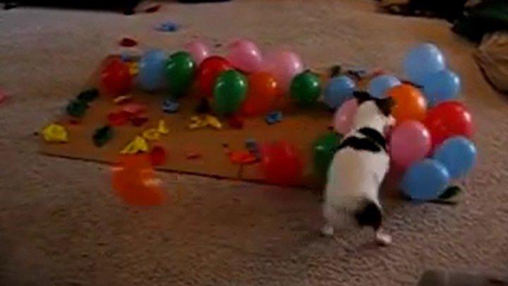 Собака лопает шарики