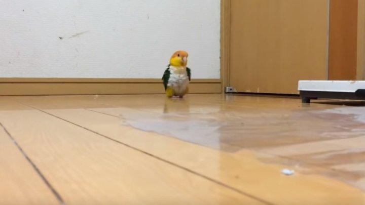 Очень смешной попугай!!!