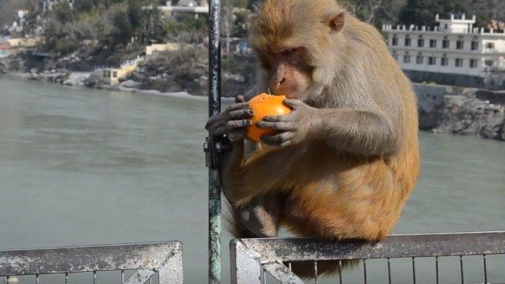 Обезьяна ест апельсин