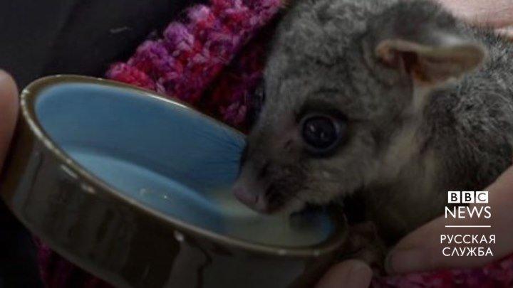 Как откармливают австралийских животных
