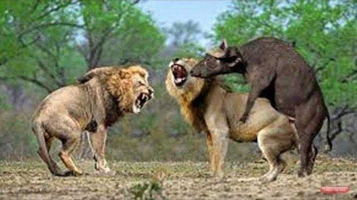 Elephant save Buffalo from Lion hunting - Crocodile vs Zebra vs Lion,Hyenas - Elephant vs Rhino,Lion ok.ru