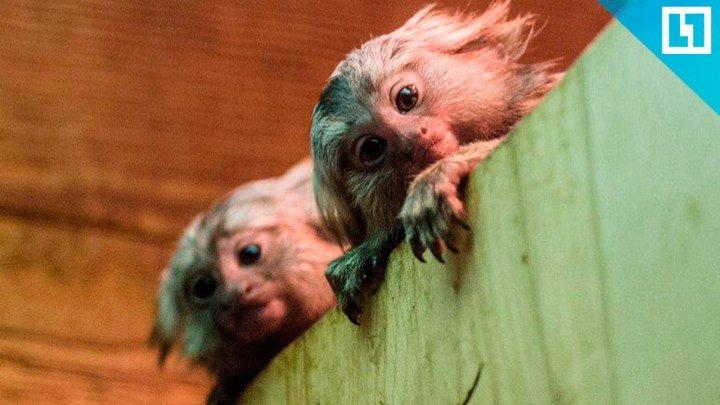 Две игрунки родились в зоопарке Ростова