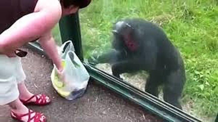 Шимпанзе простит пить и показывает, как передать ему вод