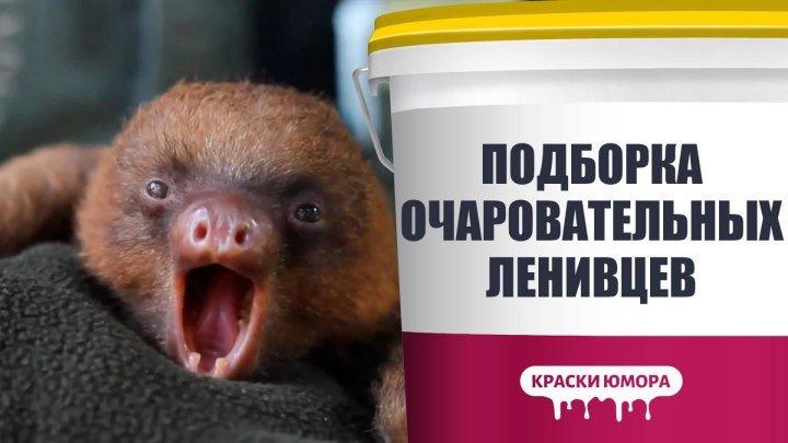 Подборка милых ленивцев