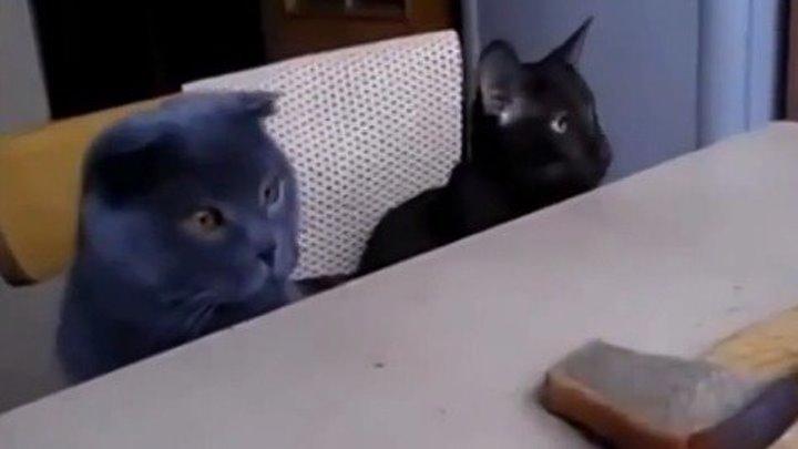 Коты-воришки! Черный-командир, серый-исполнитель..))