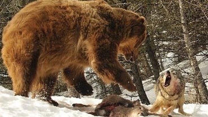 Волк против медведя. (2018). документальный