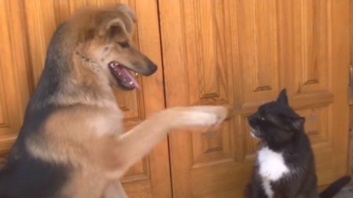 Пес-приставучка достает кота..))