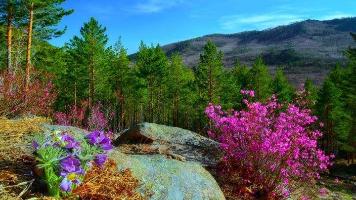 Где-то багульник на сопках цветёт. ВИА Самоцветы.
