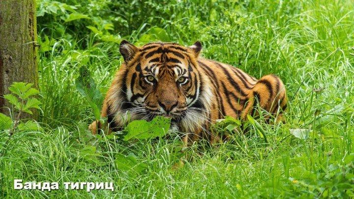 Банда тигриц ( Документальный ) 2014, США, Индия ( Animal Planet ) 1080