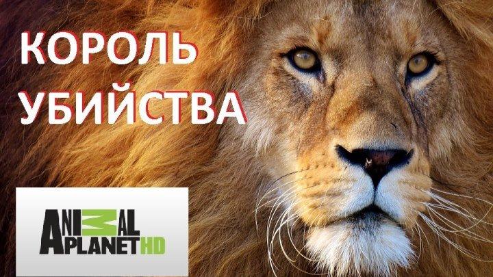 Короли убийства! Документальный фильм про львов в дикой природе! 1080 HD