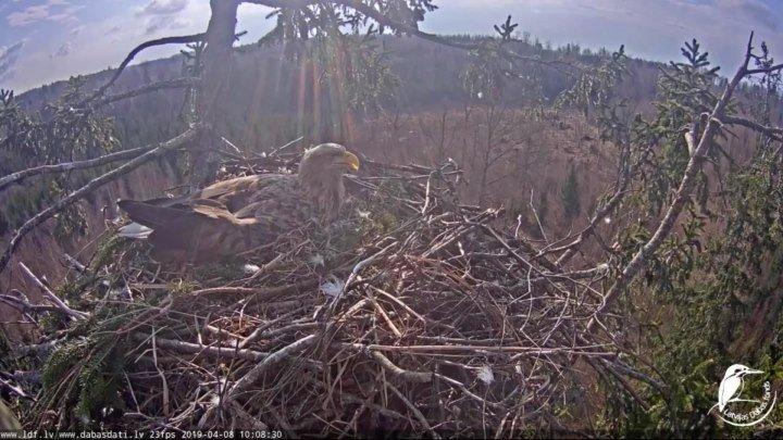 2019 Прямая трансляция из гнезда орлана-белохвоста, Латвия