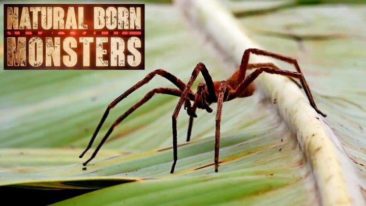 Прирождённые монстры - Бразильский паук