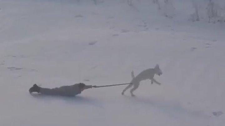 Собаки и первый снег.