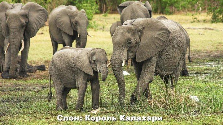 Слон: Король Калахари ( 2016, Великобритания ) Документальный ( 1080 )