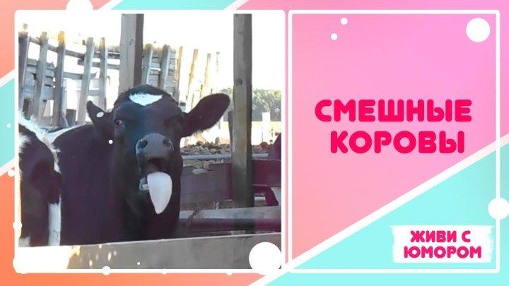 Забавные коровы