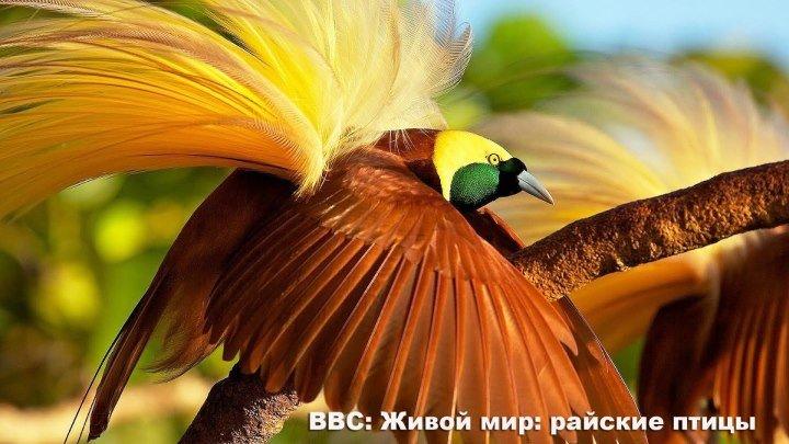 BBC: Живой мир: райские птицы ( 1996, Великобритания ) Документальный ( 1080 )