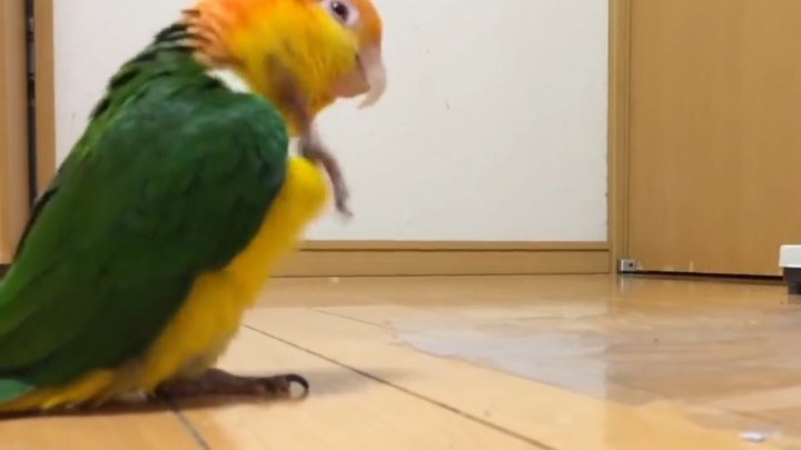 Попугайчик марширует как военный :D