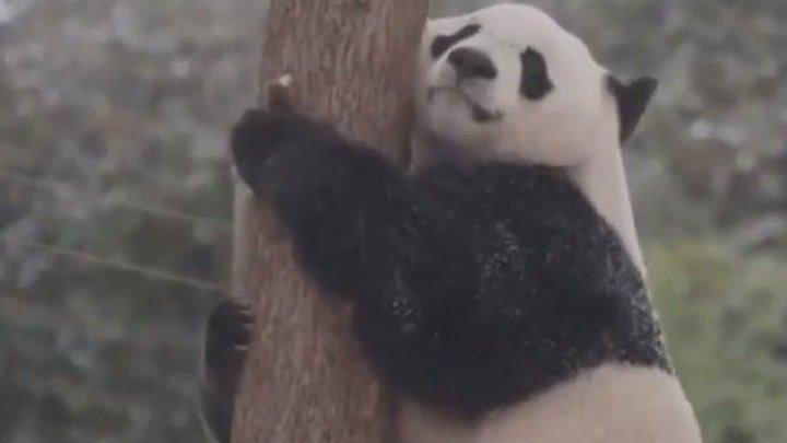 Веселая панда кайфует в снегу..))