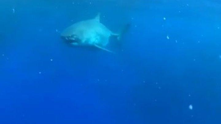 Вот это кадр. Так выглядит чуть ли не самая большая белая акула
