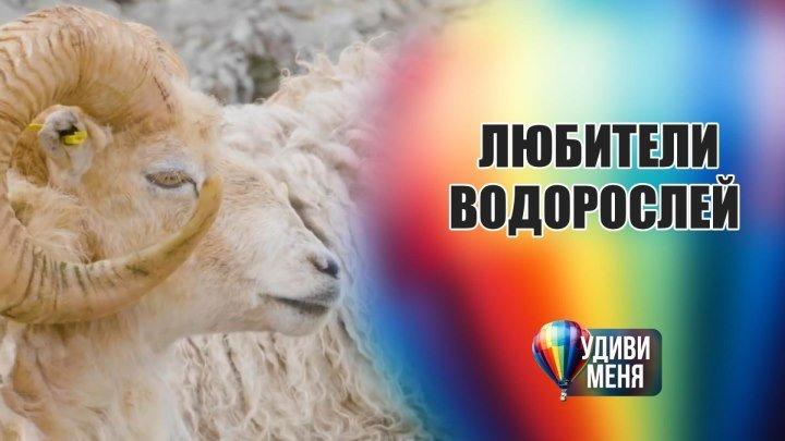 А овцы едят водоросли?