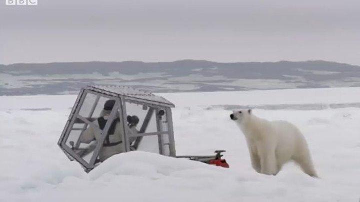Адреналин зашкаливает! Дикий белый медведь вблизи.