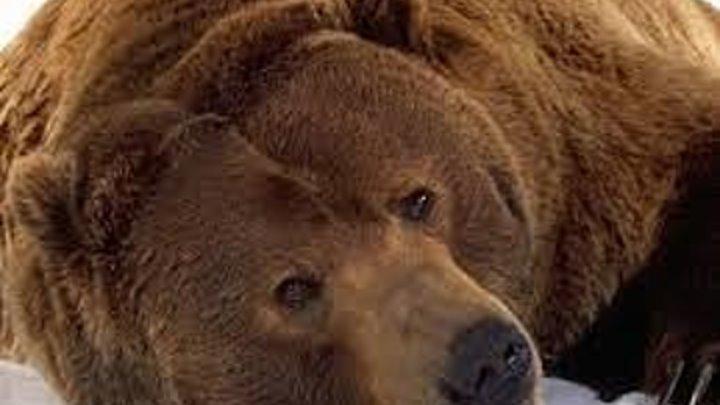 Фильм 'Медведь' (Аюу) Веаr ДРАМА СЕМЕЙНЫЙ ПРИКЛЮЧЕНИЯ Франция - США