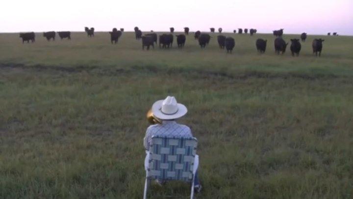 Потрясающе! Мужик позвал и построил коров! Музыкальные коровы.