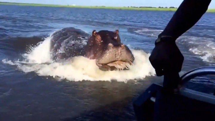Вот это скорость! Гиппопотам гонится за лодкой..