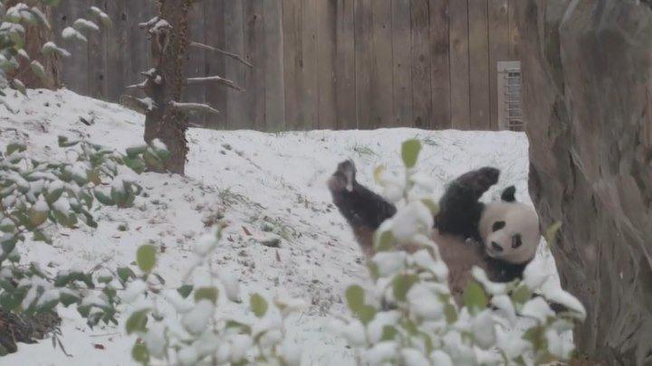 Панда радуется снегу..