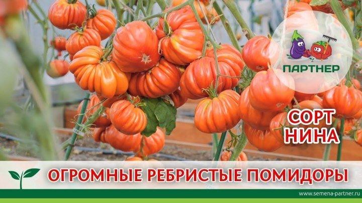 Огромные ребристые томаты Нина