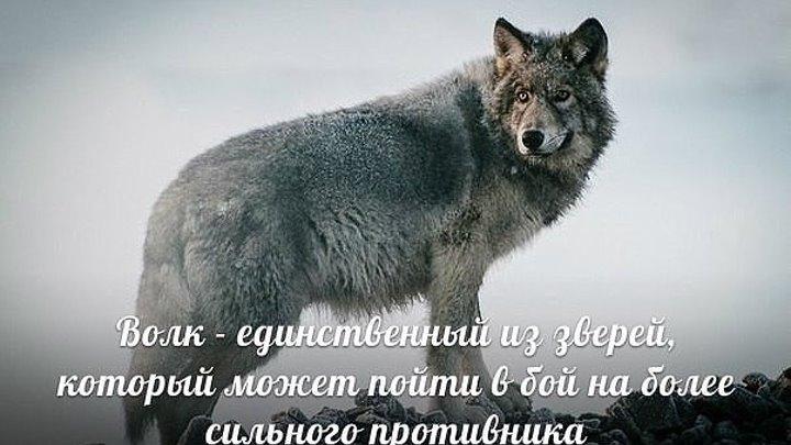 Спокойной, картинки одинокий волк и обнял только ноги вытираешь